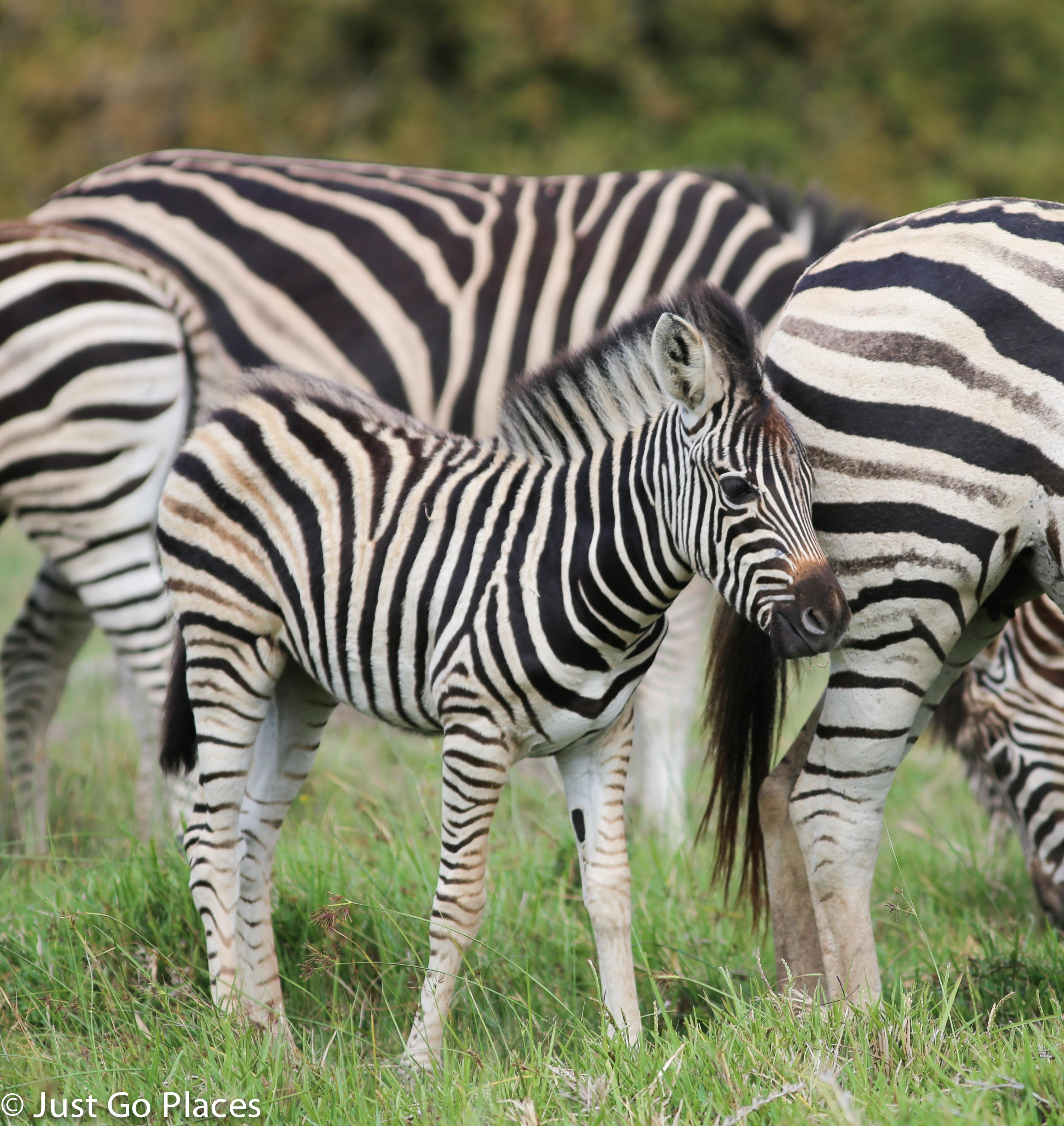 zebra in a herd