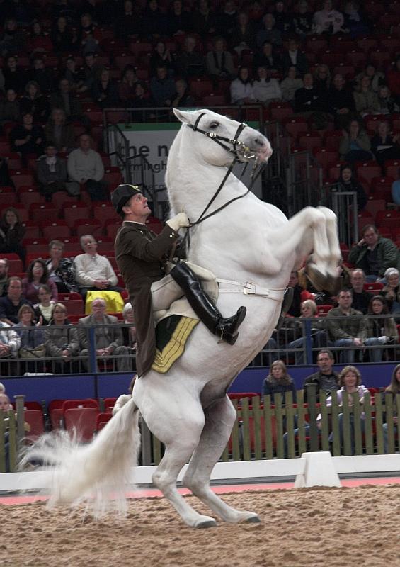 Rider with Lipizzaner horse
