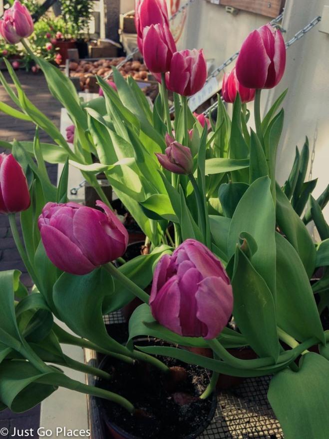 Tulip Garden in Amsterdam