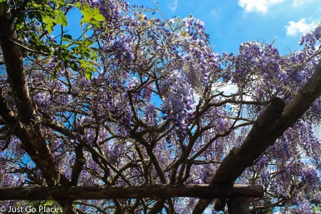 wisteria at hever castle