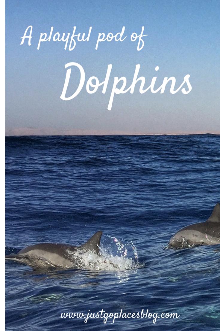 Dolphins Gulf of Aqaba Egypt