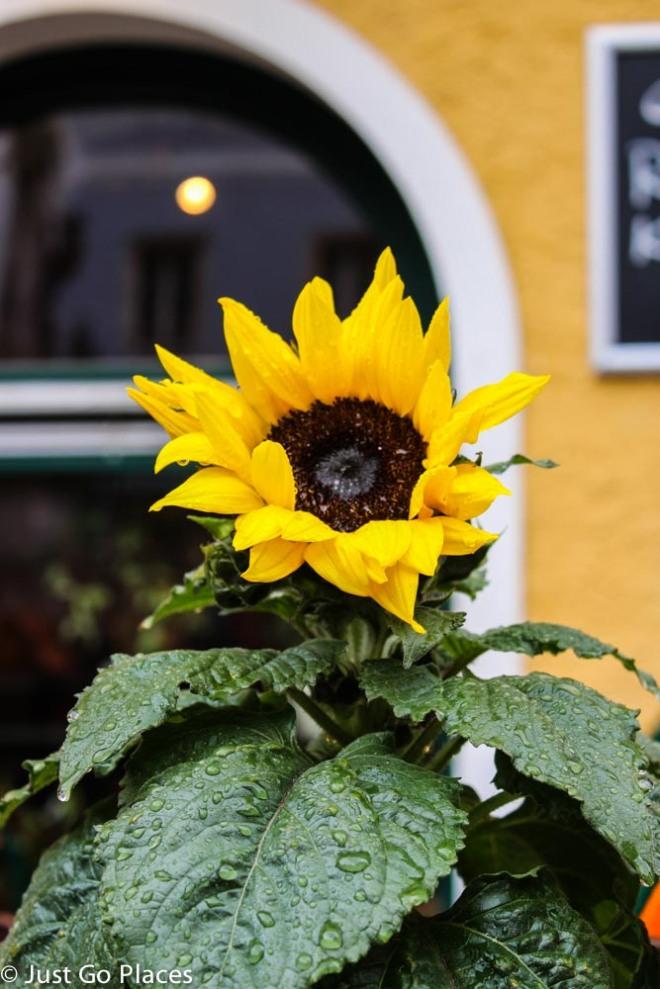 Hallstatt flower in the rain