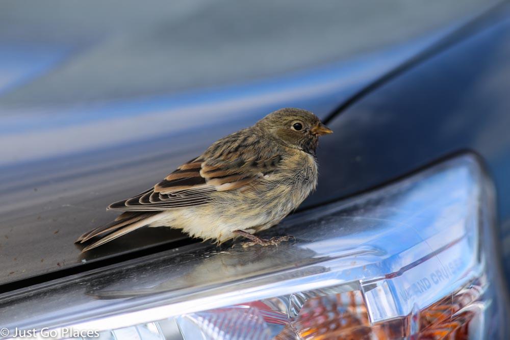 jokulsarlon bird